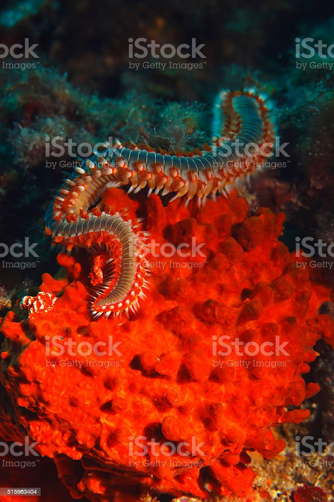 Sea life Bearded fireworm Underwater beauty stock photo