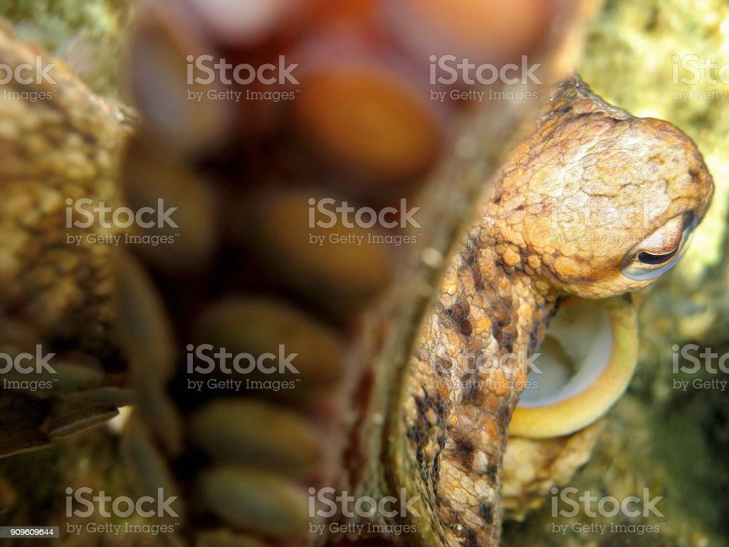 Sea life close up Octopus vulgaris stock photo