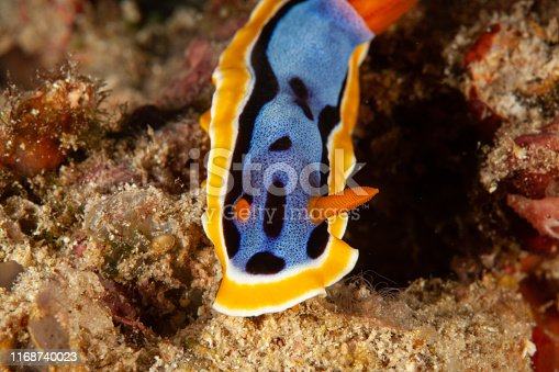 Sea Life. colorful sea slug underwater life nudibranch
