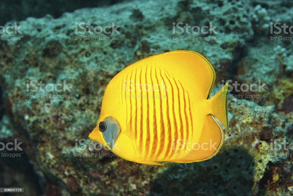 Sea life - Masked butterflyfish stock photo