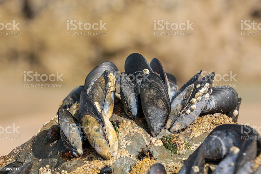 Sea life, Mussels and barnicals attached to a rock stock photo