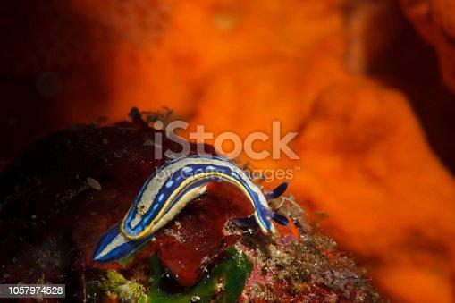 Sea life Nudibranch Underwater beauty