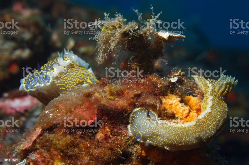 Sea life Nudibranch Underwater beauty royalty-free stock photo