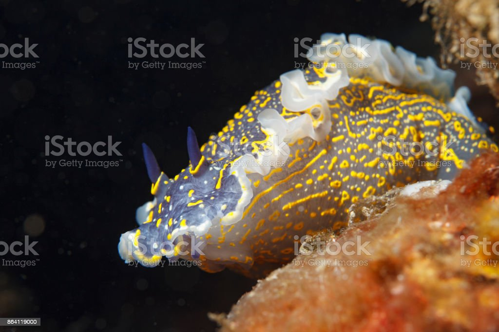 Sea life Nudibranch Underwater beauty royalty-free stock photo