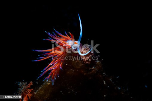 istock Sea life Nudibranch Underwater beauty Scuba diver point of view 1185605828