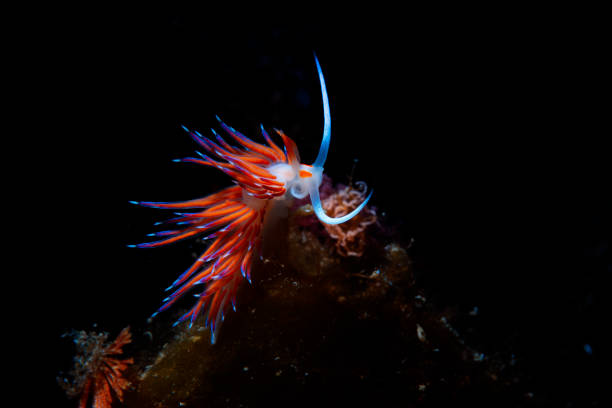 Sea life Nudibranch Underwater beauty Scuba diver point of view stock photo