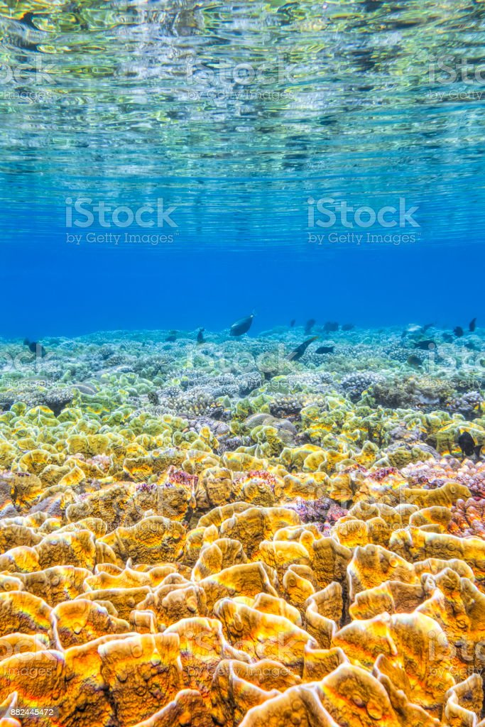 Sea life on beautiful coral reef with Fire corals , plate-shaped skeletons Millepora platyphylla in the Red Sea. - Marsa Alam - Egypt stock photo