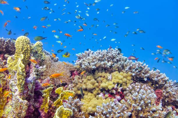 sea life on beautiful coral reef with lot of tropical fish in red sea - marsa alam - egypt - barriera corallina foto e immagini stock