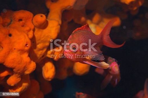 istock Sea life Red fish and Underwater Orange sponge  Scuba diver point of view Mediterranean sea 929948868