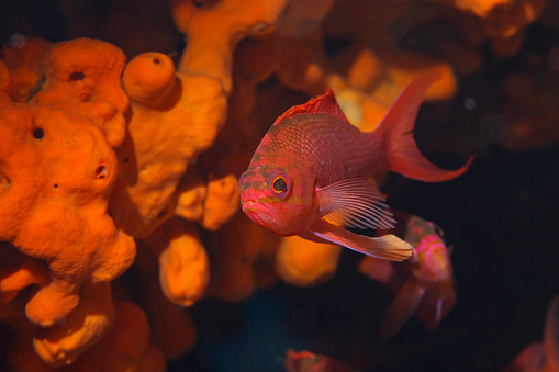 istock Sea life Red fish and Underwater Orange sponge  Scuba diver point of view Mediterranean sea 929948868