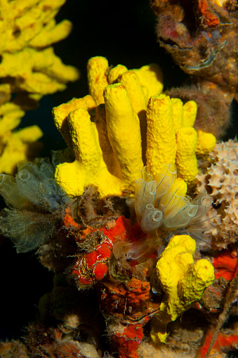 istock Sea life  Underwater Yellow sponge and  Crystal ascidia  Scuba diver point of view 1187302228