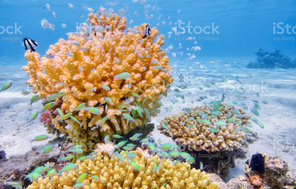Sea life with coral and school of green chromis in Red Sea - Marsa Alam - Egypt stock photo