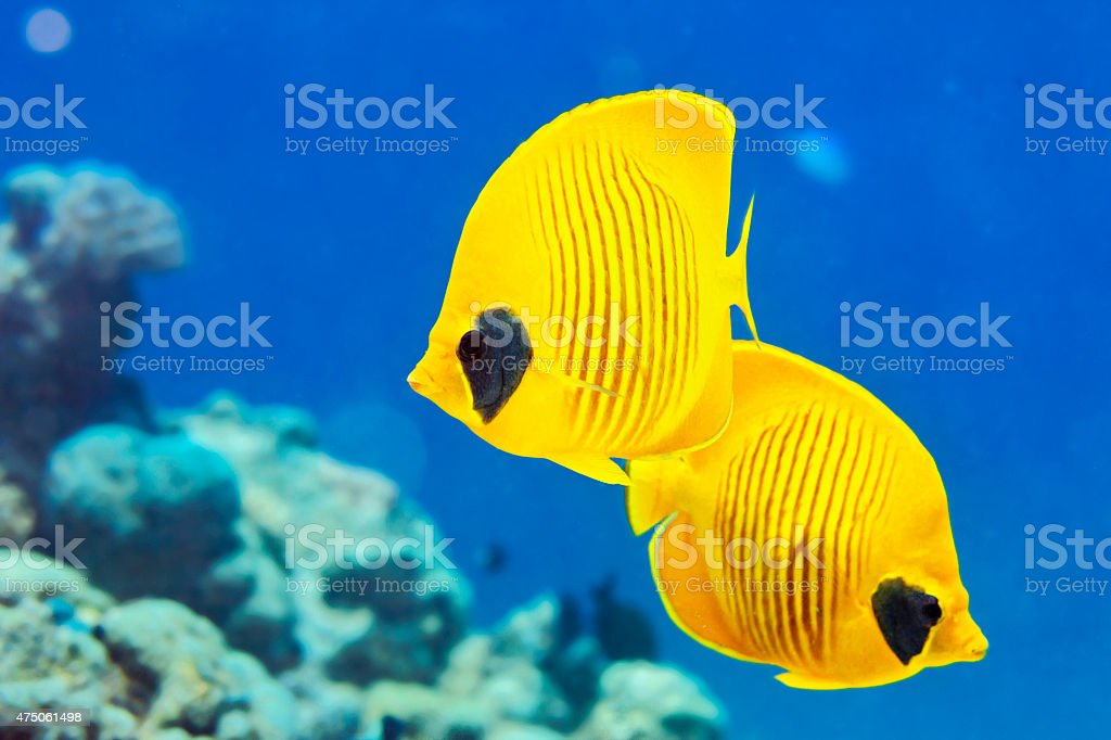 Sea life    Yellow  butterflyfish  fish    Scuba Diver Point of View stock photo