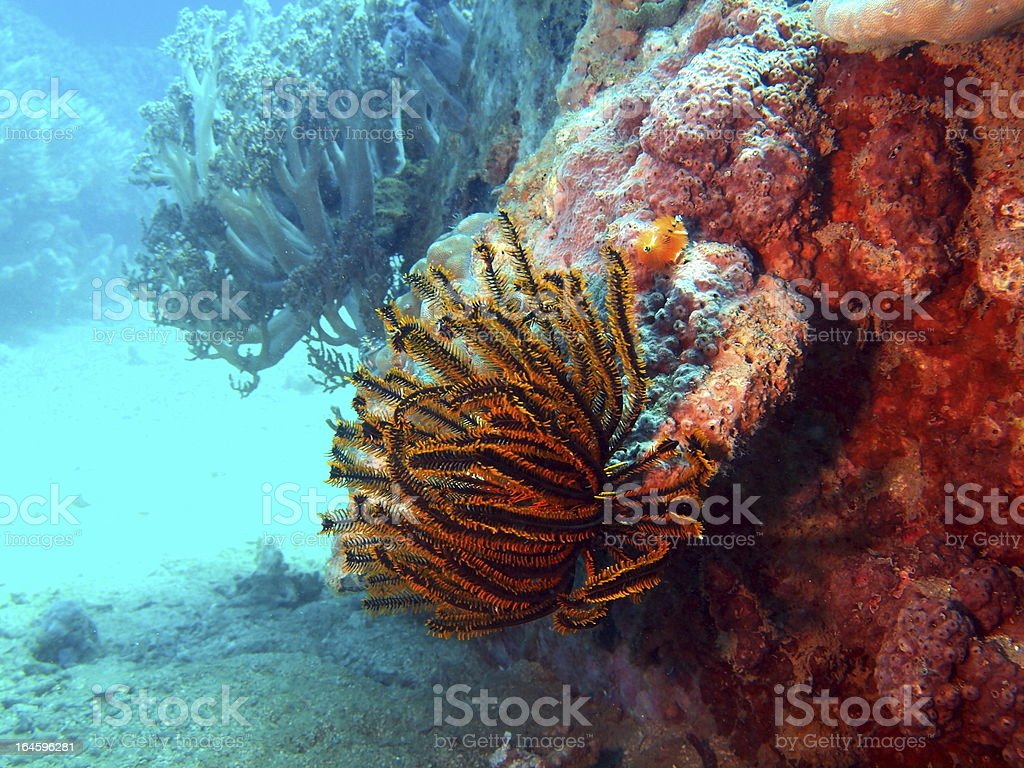 Sea lily royalty-free stock photo