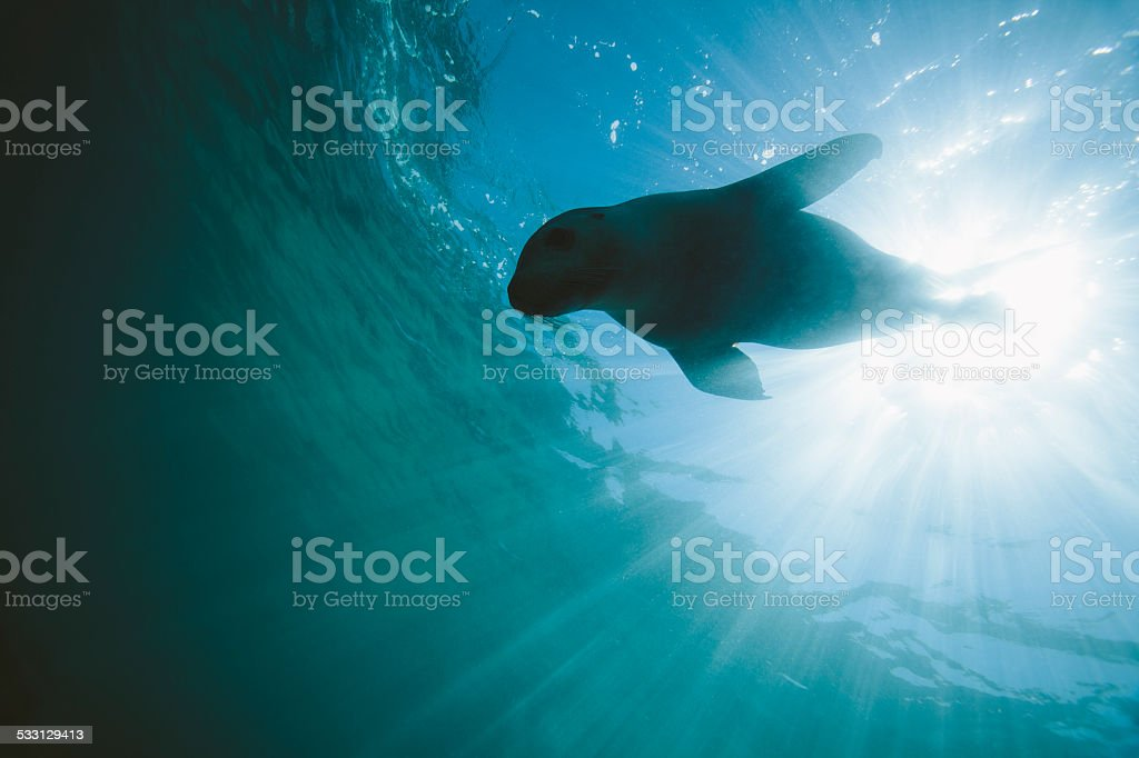 A sea lion dives down just below the surface as light rays shine down...