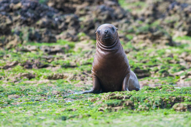Sea Lion, and calf Sea Lion ,at beach, Patagonia - Argentina south american sea lion stock pictures, royalty-free photos & images