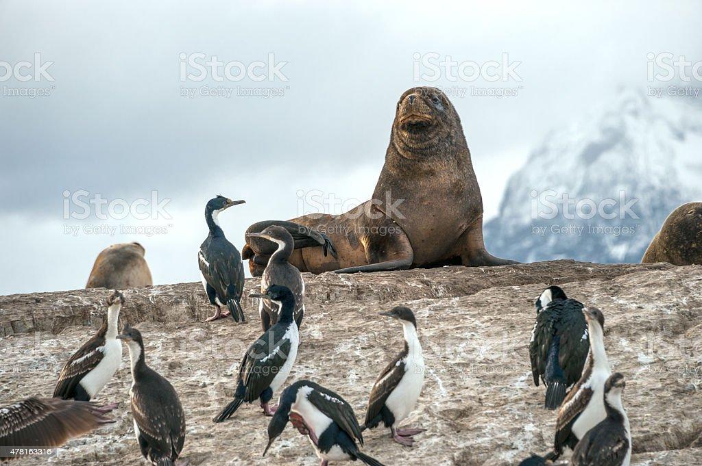 Sea lion and King Cormorant colony, Beagle Channel stock photo