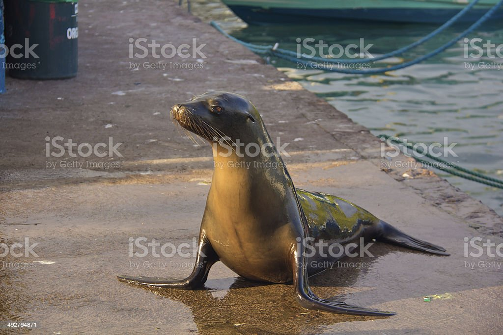 sea lion at pelican bay royalty-free stock photo