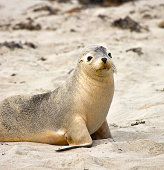 """Sea lion at Seal bay of Kangaroo Island, South Australia"""
