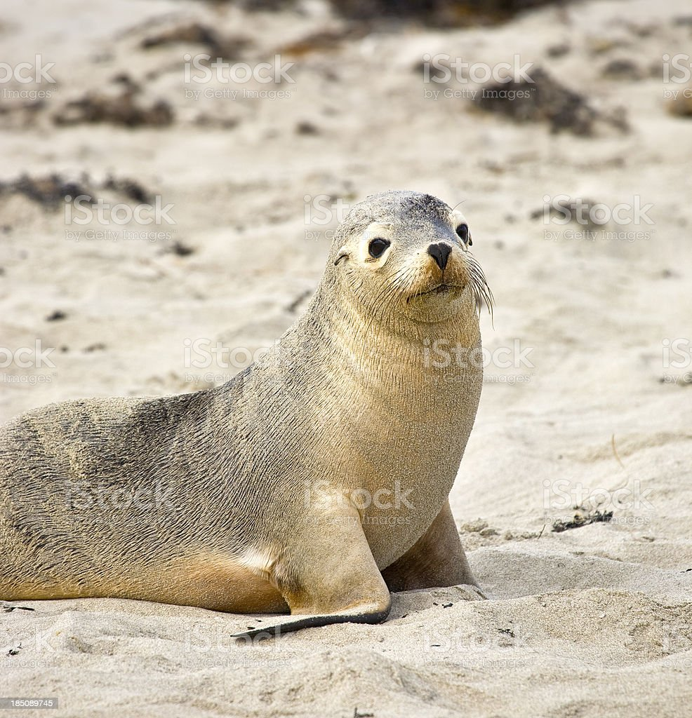 Sea lion at Seal bay of Kangaroo Island, South Australia stock photo