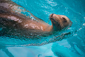 A very photogenic and happy sea lion swims by peacefully as can be at the Houston Zoo.