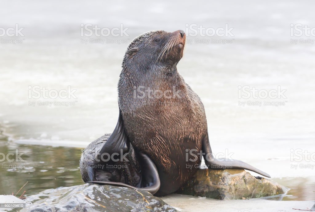 Sea lion eating on the ice stock photo