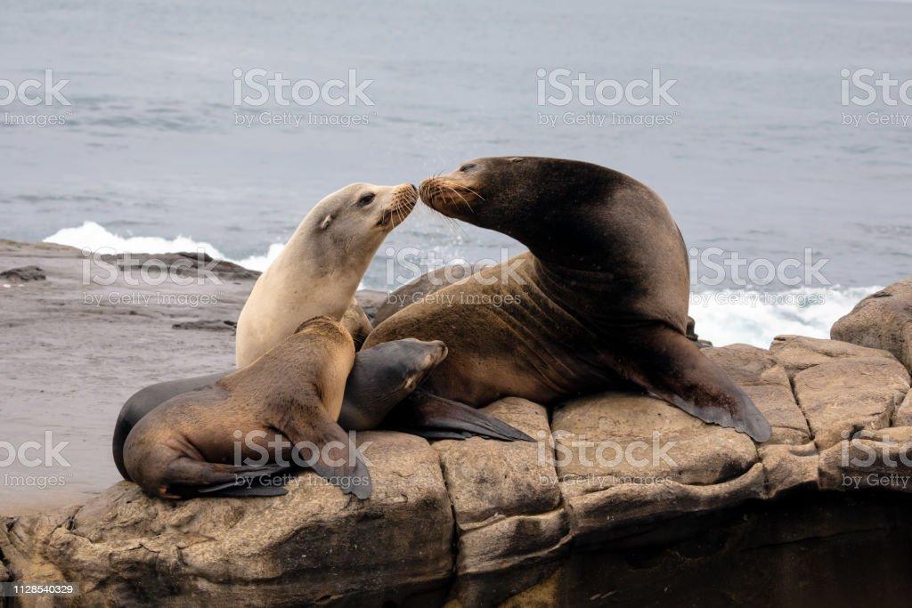 Sea Lion Family sitting on the rocks stock photo