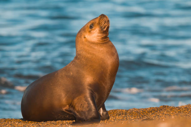 Sea lion female, Sea lion female, patagonia Argentina south american sea lion stock pictures, royalty-free photos & images
