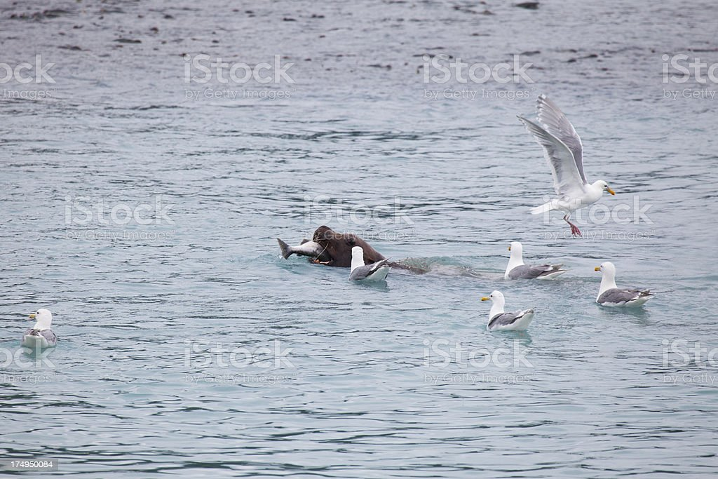 Sea lion fishing salmon in company of seagules. royalty-free stock photo