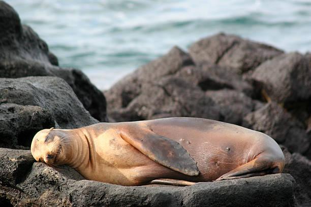 Sea Lion, Galapagos stock photo