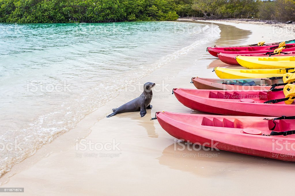 Sea lion going to take a look at kayak stock photo