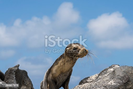Young sea lion crawling on black volcanic rocks against blue sky seeking for his mother. Mosquera island, Galapagos