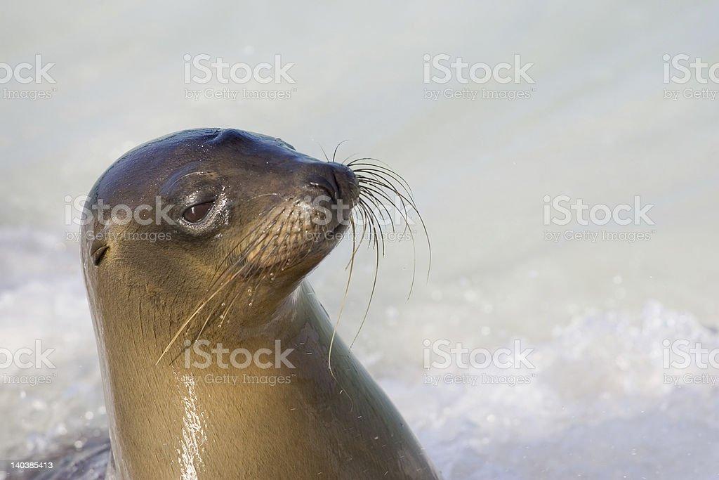 Sea Lion in Galapagos - Royalty-free Animal Whisker Stock Photo