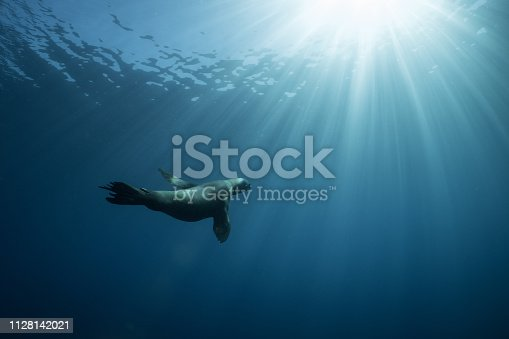 A California sea lion swims into the blue near an offshore oil platform near Long Beach, California.