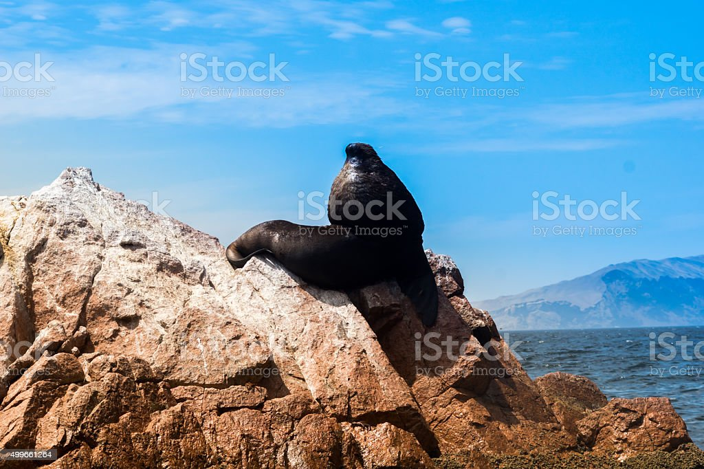 Sea lion is chilling on a rock on pacific ocean stock photo