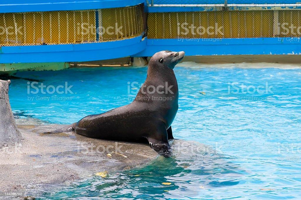 Sea Lion King stock photo