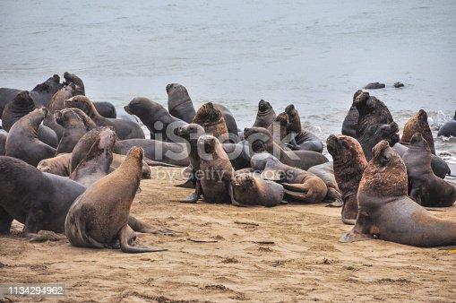 Sea Lion, Mar del Plata. Argentina
