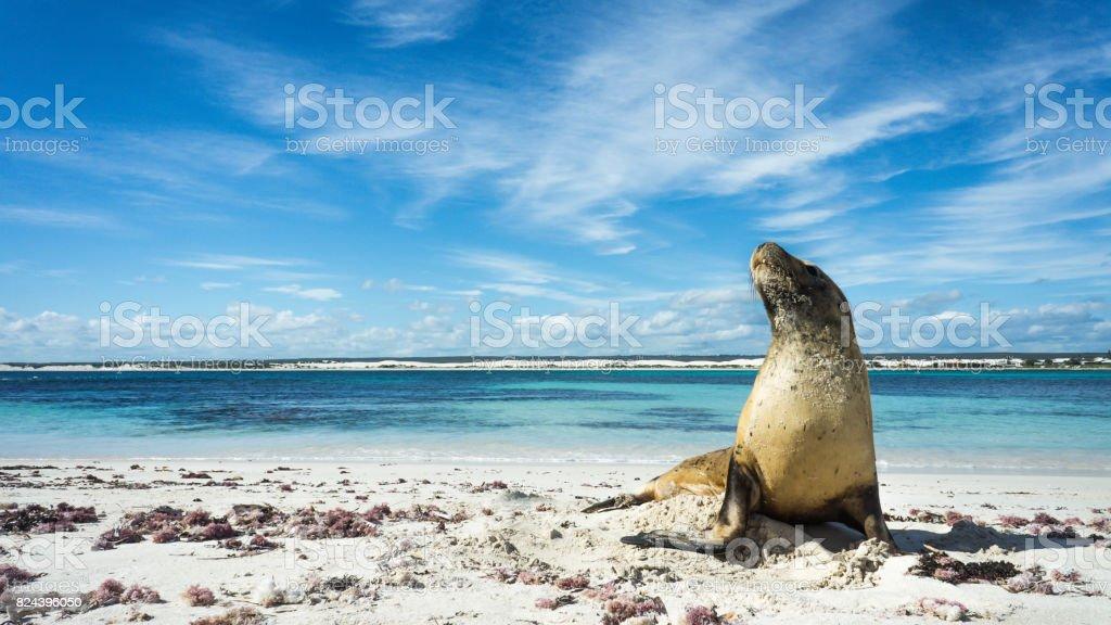 Sea Lion on Lancelin Island stock photo