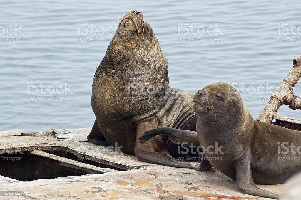 Sea Lion (Otaria flavescens) stock photo