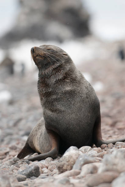 Sea Lion pup Sea Lion pup , Patagonia Argentina.Peninsula de Valdes south american sea lion stock pictures, royalty-free photos & images