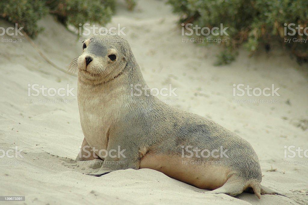 Sea lion Pup stock photo