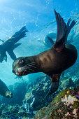 Playful sea lions at Lobster Shack at Islas Coronados, Mexico.