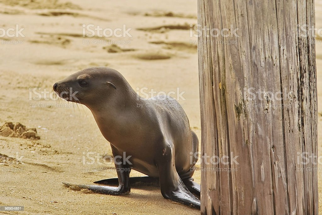 Sea Lion pup under the pier. royalty-free stock photo