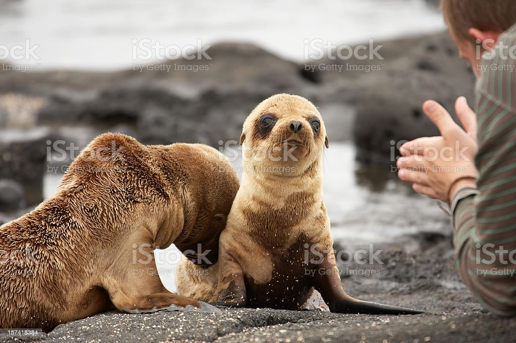 Sea lion pups on Galapagos Islands stock photo