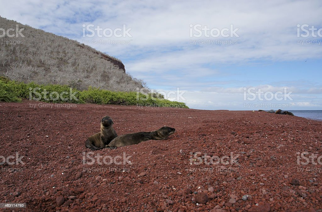 Sea Lion Pups on the Beach royalty-free stock photo