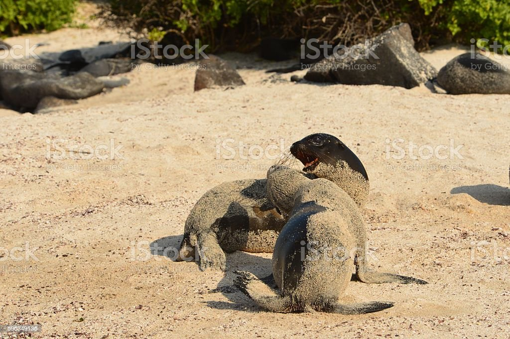 Sea Lion Pups royalty-free stock photo