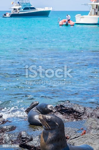 Sea Lion Pups Playing by the Shore Overlooking Boats and Yachts Anchored Near-by
