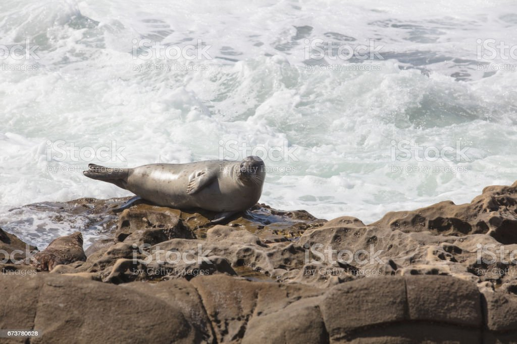 Sea Lion resting on a rocky cliff in front of the waves at La Jolla, California in San Diego royalty-free stock photo