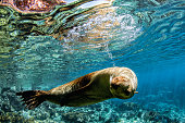 sea lion seal coming to you underwater in baja california