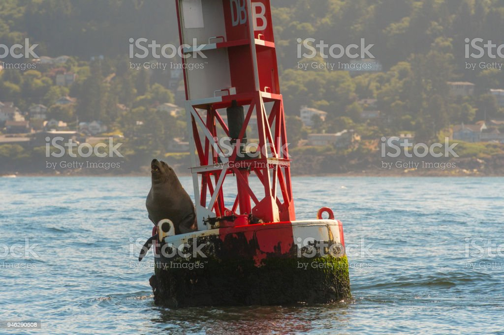 Sea Lion Sits on Bouy stock photo